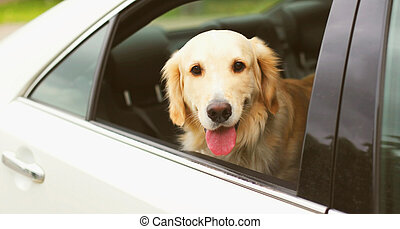 Happy young Golden Retriever dog sitting in car looking out the window