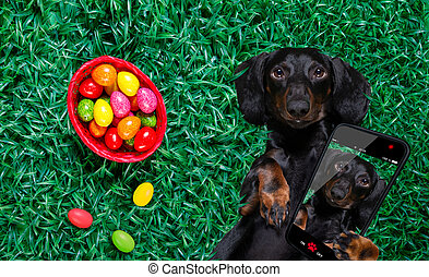 funny happy easter dachshund sausage dog with a lot of eggs around and basket , sleeping resting and lies or lays on grass this holiday season