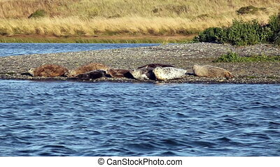 Harbor Seals On River Bank - Seals On Shore And In Water...