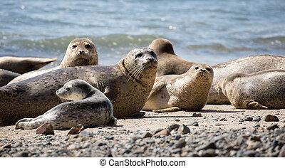 Harbor Seals posing