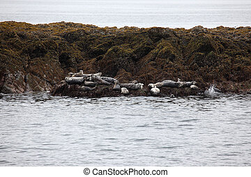 Harbor Seals - A stock photo of some harbor seals laying on...