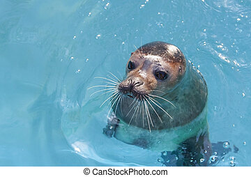 Harbour seal - Harbor seal (Phoca vitulina) in the water