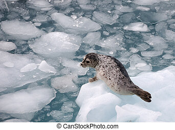 Harbour Seal on an iceberg - Harbour Seal on an ice floe in...