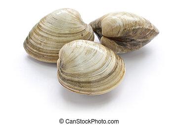 hard, clam, quahog