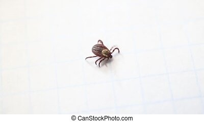 Hard tick crawling on white background. Macro shot.