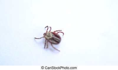 Hard tick crawling on white background. Macro shot of...