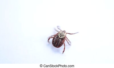 Hard tick crawling on white background out of frame - Close-...