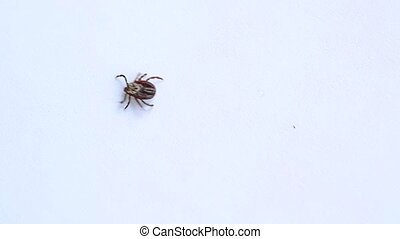 Hard tick crawling on white background out of frame