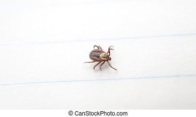 Hard tick crawls on white background. Dermacentor. Macro...