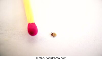 Hard tick crawls on white background near a match for ...