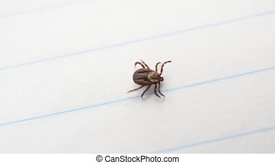 Hard tick lies on white paper background and starts to crawl...