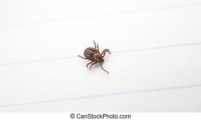 Hard tick on its back upside down, turns over and crawls...