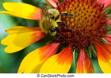 Hard work - Bumblebee on the Gailardia flower. Karaganda, ...