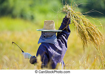 cutting rice in the fields