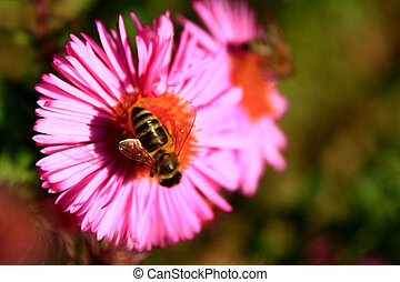 hardworking bee collects nectar on the asters