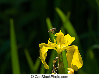 hardworking bee flies to yellow iris flower full of nectar