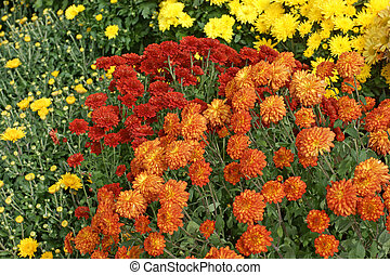 Several different colored hardy garden mums in bloom.