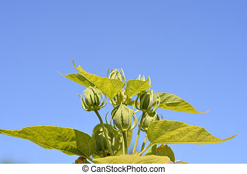Hardy hibiscus flower buds against blue sky - Latin name - Hibiscus moscheutos
