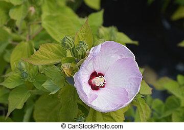 Hardy hibiscus - Latin name - Hibiscus moscheutos