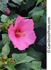 Hardy hibiscus Luna Rose
