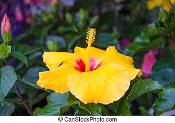 Hardy hibiscus rose of sharon and tropical hibiscus. Exotic plants and flowers. Gorgeous hibiscus flower close up. Flowers large conspicuous trumpet shaped with five or more petals. Yellow hibiscus