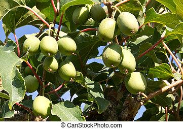 Hardy Kiwi plant with fruit ready to pick