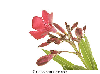 Hardy red oleander flowers close up; isolated on white background