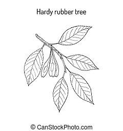 Hardy rubber tree Eucommia ulmoides , medicinal plant. Hand...