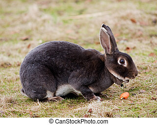 Hare eating carrot