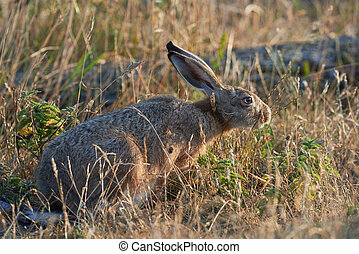 Hare eating grass in morning sun