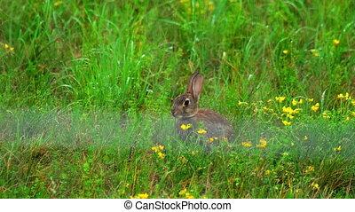 Hare in green grass, a rain shower - Hare in green grass...
