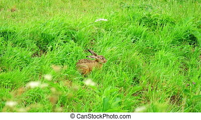 Hare in green grass near the runway of Amsterdam Airport