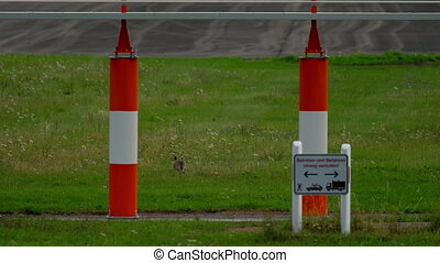 Hare near runway of Dusseldorf airport