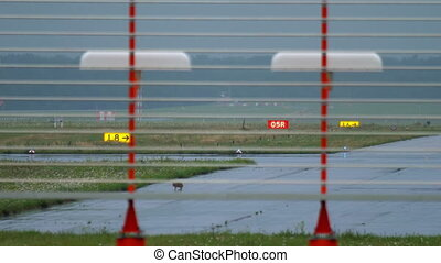 Hare on runway of Dusseldorf airport - European hare (Lepus...