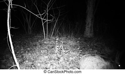 Hare, or Lepus lepus or wild rabbit, walks in a wood forrest in a dark night