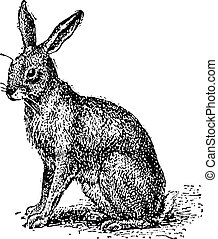 Hare or Lepus sp., vintage engraving - Hare or Lepus sp.,...