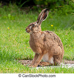 A profile of the sitting European hare (Lepus europaeus) in a garden in Uppland, Sweden