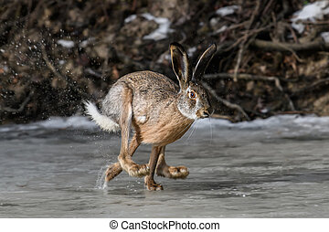 Hare running on frozen pond