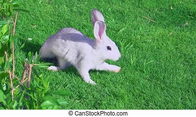 hare runs on the lawn outdoors - little rabbit running on...
