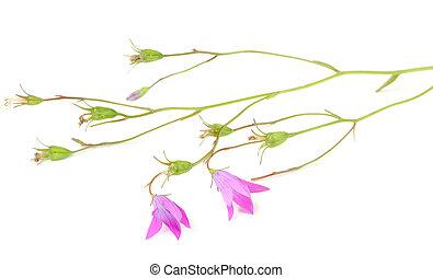 Harebell (Campanula Rotundifolia) on White Background - A ...