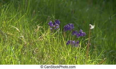 Harebell Wild Flowers in Field
