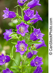 Harebell wildflowers - Campanula rotundifolia - Bellflower ...