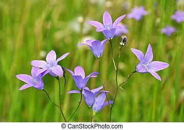 Campanula rotundifolia - Harebell wildflowers - Campanula ...