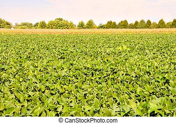 haricot, champ, soja, plante