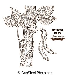 haricot, illustration, main, haricot, vecteur, dessiné, plant.