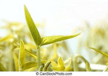 haricot soja, outbreak., vie, croissant, depuis, graine