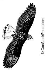 Harlans (Red-tailed) Hawk - Buteo jamaicensis harlani