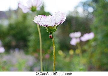 Harlequin ladybird climbs stem of Cosmos Peppermint Rock flower