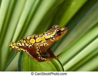 Harlequin poison dart frog - Harlequin Poison Dart Frog or...