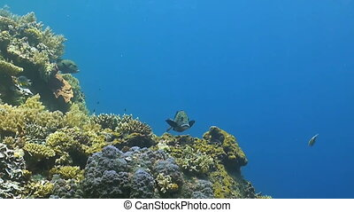 Harlequin Sweetlips on the edge of a coral reef